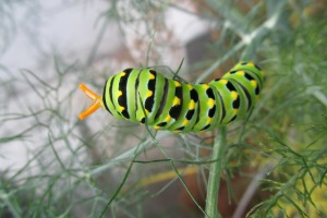 anise swallowtail caterpillar big